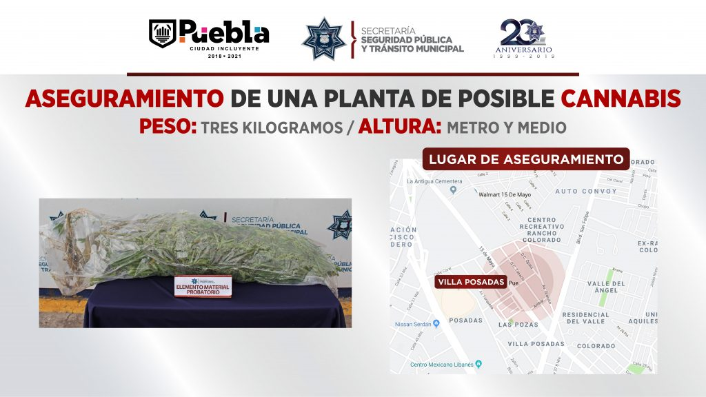 Aseguró SSPTM de Puebla una planta de posible cannabis con un peso aproximado a los tres kilogramos